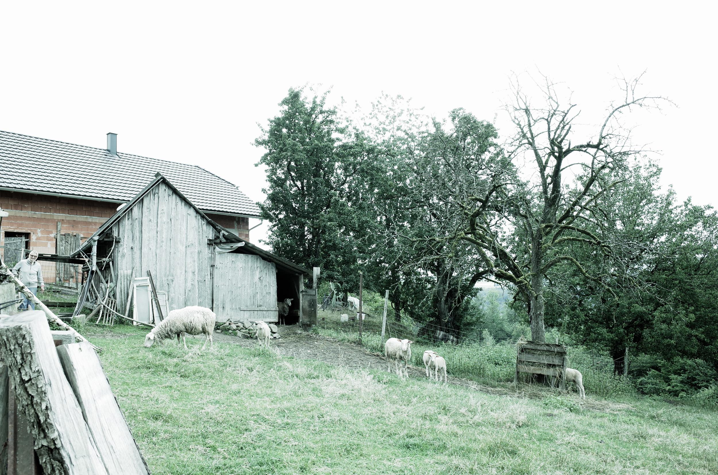 Granitpilgern Schafe